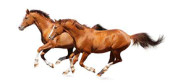 Two sorrel horses gallops